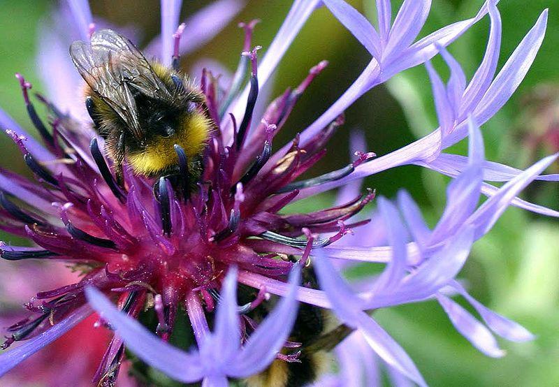 Auch Hummeln zählen zur Gruppe der Bienen.