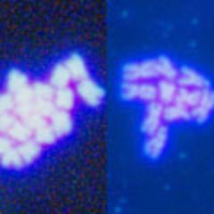 Tetraploider (li.) & diploider Chromosomensatz (re.) bei Arabidopsis (Quelle: © Ramon Torres-Ruiz / TU München)