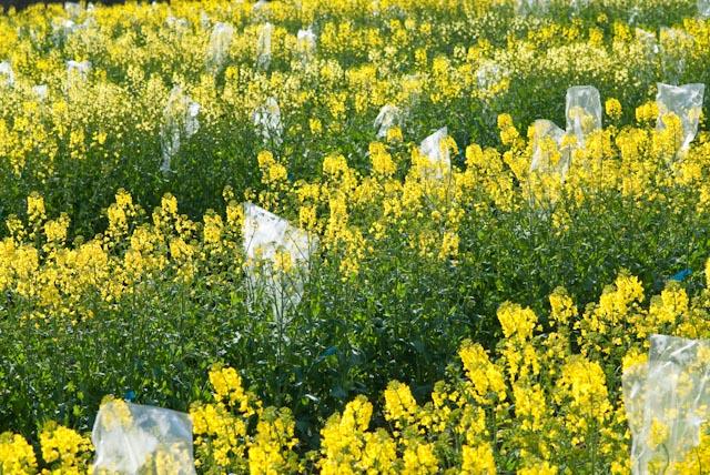 Rapspflanzen in einem Zuchtgarten des mittelständischen Pflanzenzüchtungsunternehmens Norddeutsche Pflanzenzucht Hans-Georg Lembke KG. (Quelle: © NPZ)