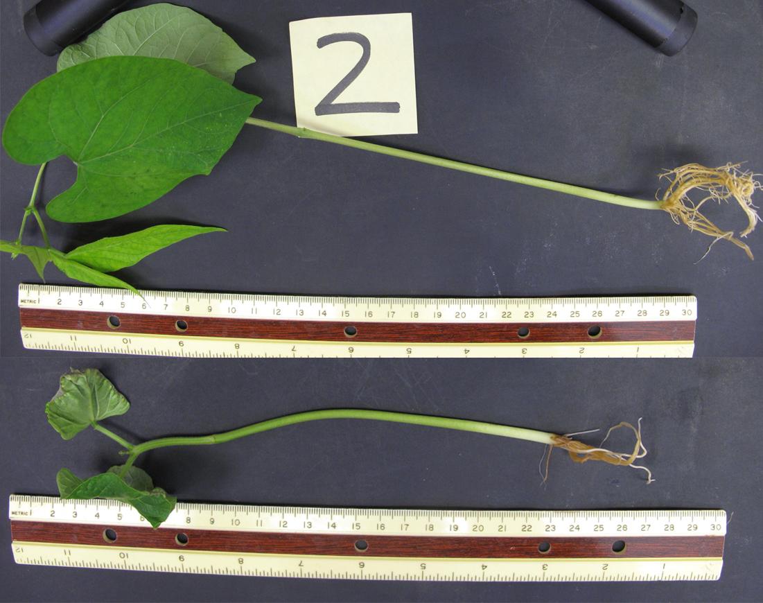 Zwei Wochen nach der Keimung waren behandelte Bohnenpflänzchen wesentlich größer (oben), als unbehandelte (unten).