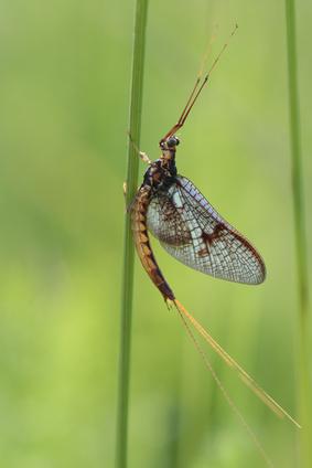 Auch Eintagsfliegen sind für Pestizide speziell anfällig. Sie besiedeln europäischen Flüsse, Bäche und Ströme und sind besonders arten- und individuenreich.