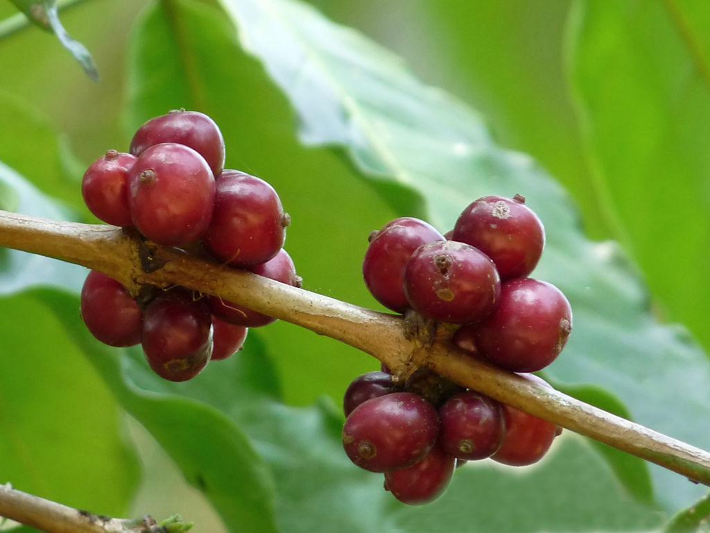 Für die Aufbereitung des Robusta-Kaffees trocknen die roten Kaffeekirschen für mehrere Wochen in der Sonne, bevor die Schale entfernt wird, die die Kaffeebohne umgibt.