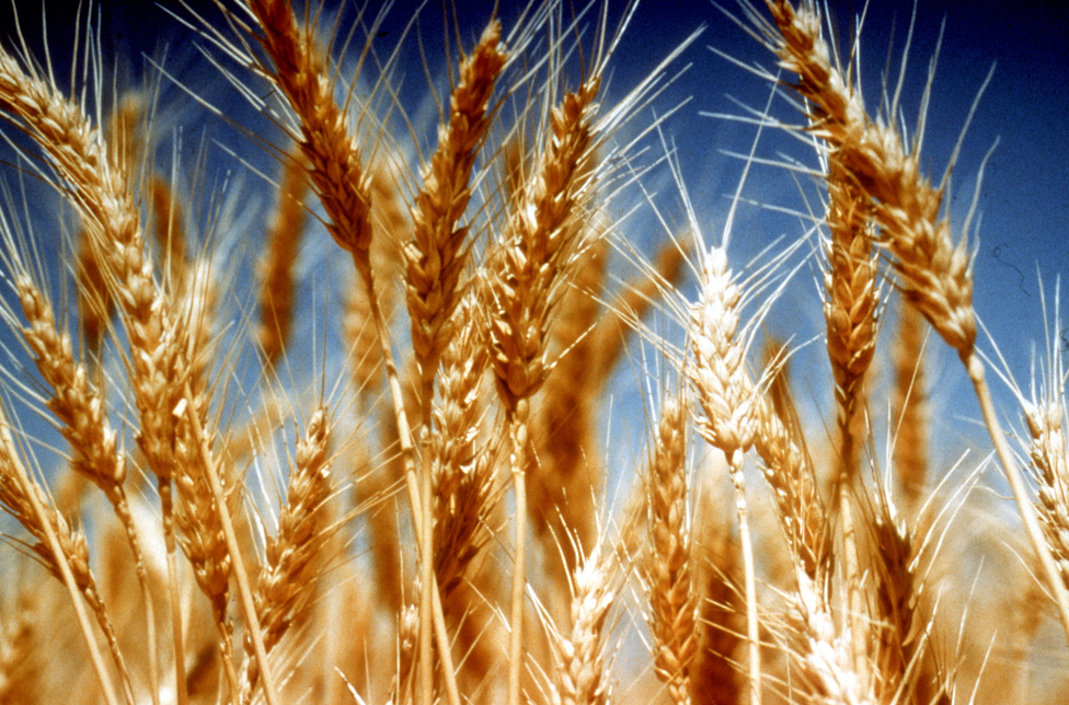 Im Low-Input-Weizenanbau werden laut Meta-Analyse bis zu 70% weniger synthetische Pestizide eingesetzt. (Bildquelle: © CSIRO/ CC BY 3.0)