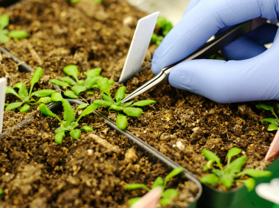 Für ihr Screening mussten die Wissenschaftler erst Arabidopsis-Pflanzen aufziehen und Proben nehmen. Erst dann entdeckten sie die Mutanten mit den gewünschten Eigenschaften unter den Versuchspflanzen.