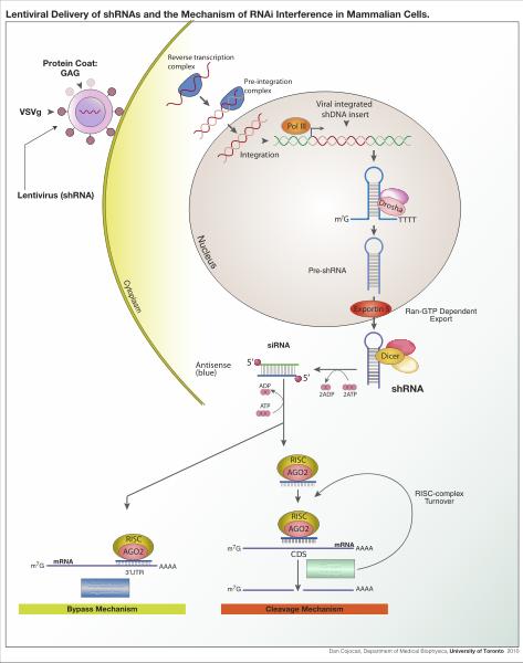 Während des RNA- Interferenz-Mechanismus zerschneidet das Enzym Dicer doppelsträngige RNA-Moleküle (shRNAs) in kurze, einzelsträngige siRNAs. Diese binden an die Ziel-mRNA und markieren sie für den Abbau durch den RISC-Komplex und Argonauten-Proteine (AGO).