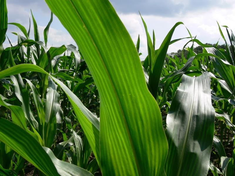 Eine spezielle Blattstruktur macht die Photosynthese von Maisblättern sehr effizient (Quelle: © Michael Bührke / pixelio.de).