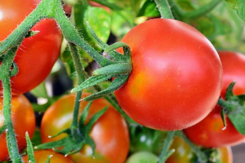 Die Tomate zählt zu den wichtigsten Nutzpflanzen der Welt. Im Zuge der Domestizierung und Kultivierung veränderte sich nicht nur ihr Erscheinungsbild, sondern auch das Genom. (Bildquelle: © Andreas Hermsdorf/ pixelio.de )