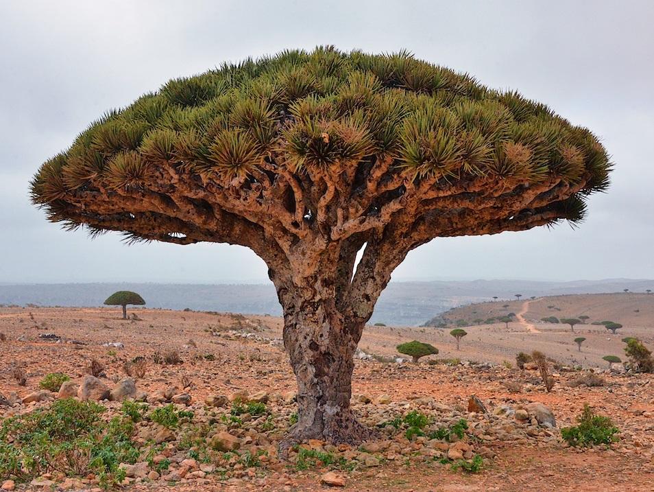Drachenblutbäume haben ein ungewöhnliches Aussehen, das an riesige Pilze oder einen Schirm erinnert. (Bildquelle: © Rod Waddington / flickr / CC BY-SA 2.0)
