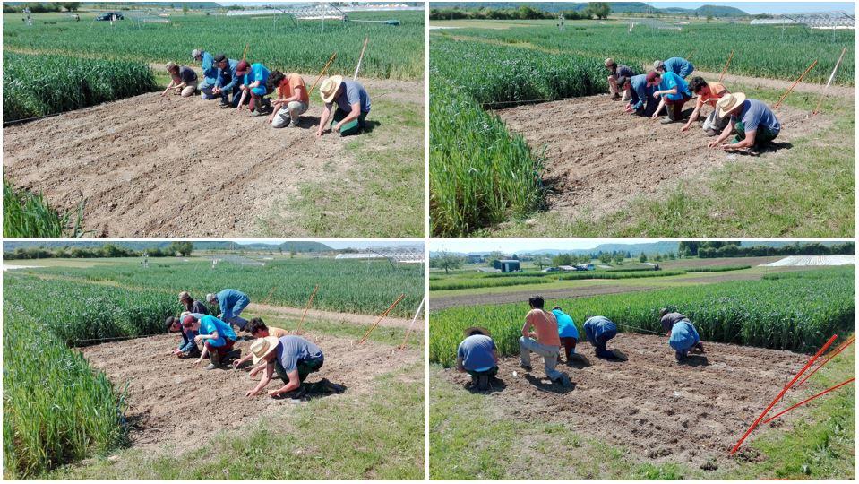 Projekt RECONSTRUCT: Mais-Aussaat auf den Versuchsfeldern. Im ersten Schritt wurden fünf genetisch stark diverse Maissorten auf Feldern mit vier unterschiedlichen Bodenbewirtschaftungssystemen angebaut.