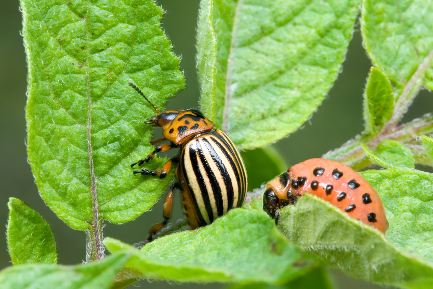 Pflanzenfressende Insekten (hier der Kartoffelkäfer) lösen in Pflanzen Abwehrmechanismen aus, die über den Jasmonatstoffwechselweg gesteuert sind.