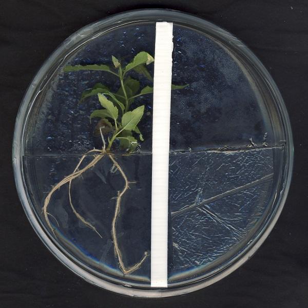 Im Vergleich zu den Pappelpflänzchen, die in einer Petrischale mit dem Pilz wuchsen, sind deutlich weniger Seitenwurzeln und Wurzelhaare zu sehen.