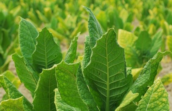 Aufgrund seiner großen Blätter eignet sich Tabak besonders gut zur Impfstoffherstellung. (Bildquelle: © iStock.com/ GoranMihajlovski)