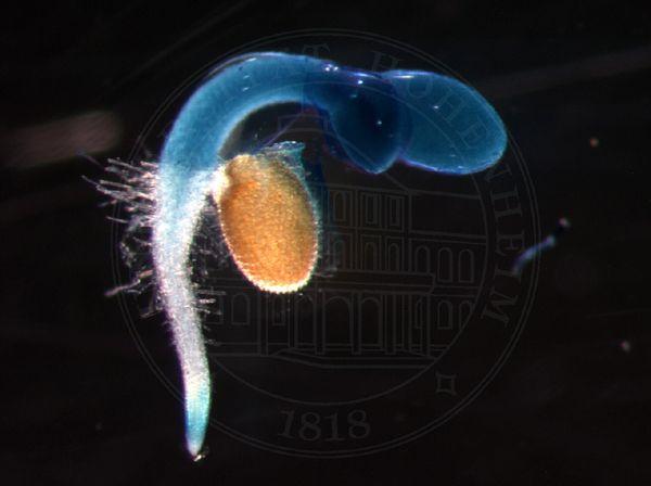 Arabidopsis-Keimling: Das Innenleben von Samen hält für Biologen noch etliche Rätsel bereit.