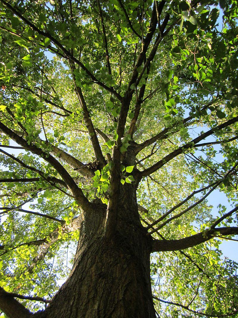 Pappel: Die Pflanze eignet sich aufgrund ihres schnellen Wachstums, der weiten Verbreitung, des überschaubaren, voll sequenzierten Genoms und ihrer wirtschaftlichen Relevanz bei nachwachsenden Rohstoffen gut für molekulare Untersuchungen zu Anpassungen an Klimaveränderungen.