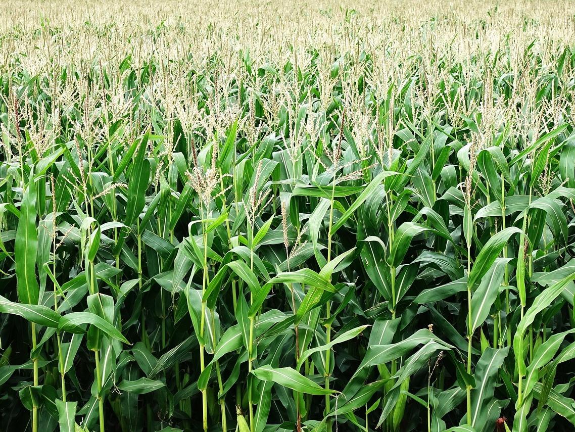 Maispflanzen reagieren auf Blattkontakt mit Signalen über ihre Wurzelausscheidungen.