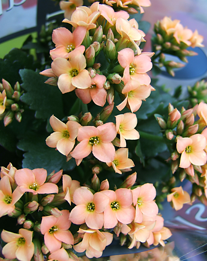 Kalanchoe blossfeldiana ist bei uns vor allem als Zierpflanze bekannt - auch unter dem Namen Flammendes Kätchen. Die Pflanze nutzt den CAM-Stoffwechsel, um auch bei Trockenheit gedeihen zu können.