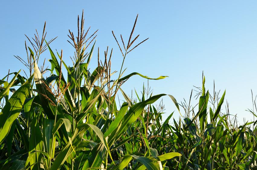 Maisblüten als Forschungsobjekt. (Quelle: © Aleksey Stemmer / Fotolia.com)