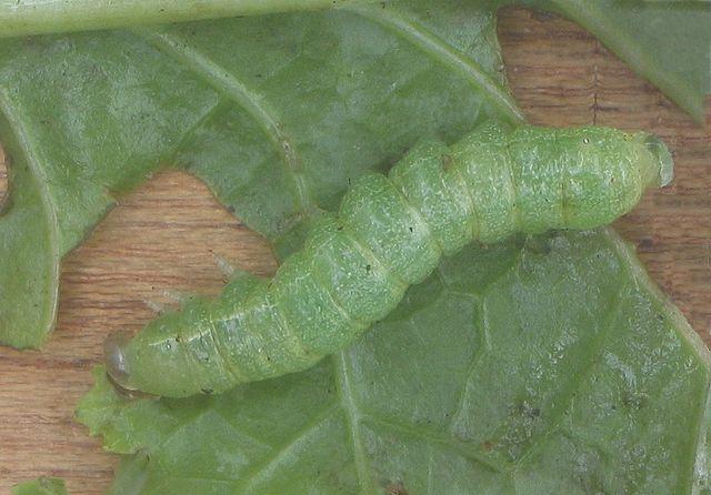 Die Wissenschaftler testeten auch wie spezifisch die Abwehrmechanismen sind. Beispielsweise bei Befall von Kohlmotten (Plutella xylostella).