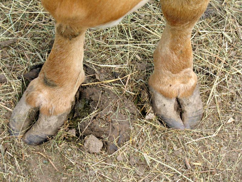 Bereits Steinzeit-Bauern nutzten Dung von ihen Nutztieren, um ihre Ackerböden zu düngen. (Quelle: © iStockphoto.com/ Cathy Britcliffe)