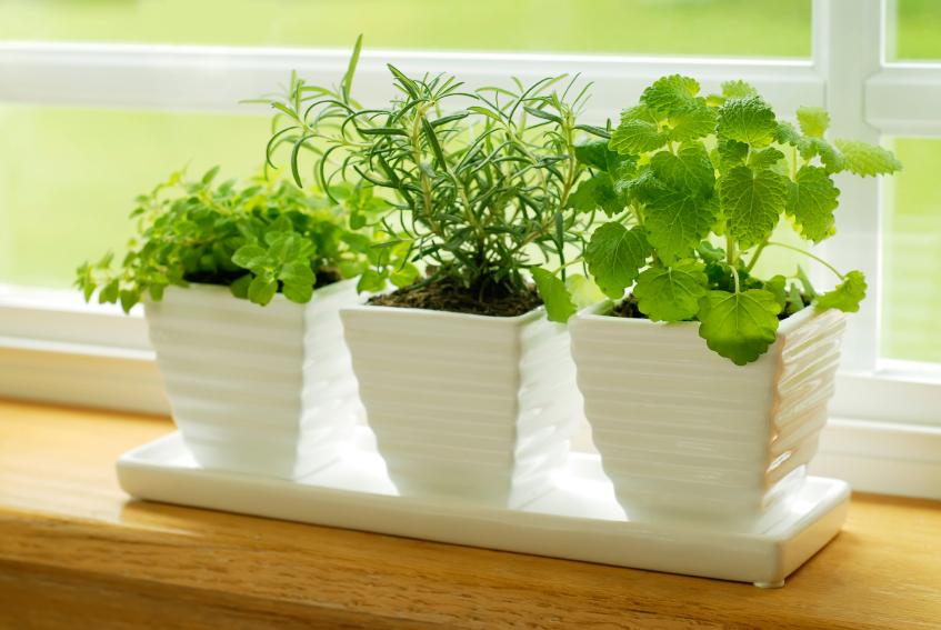 Auch Topfpflanzen im Fenster drehen ihre Blätter zum Licht. Ohne Auxin wäre das nicht möglich. (Quelle: © iStockphoto.com/Carly Hennigan)