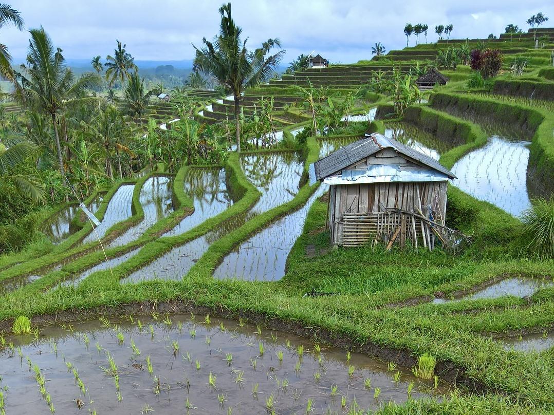 Reisanbau auf gefluteten Feldern. Die Mikroorganismen im Wasser produzieren das klimaschädliche Treibhausgas Methan. (Bildquelle: © H.Hach/Pixabay/CC0)
