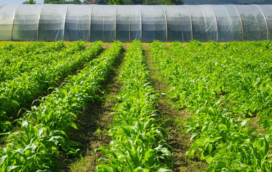 In der Landwirtschaft lassen sich über microRNAs Erträge und Qualität von Nutzpflanzen verbessern, z. B. beim Mais. (Bildquelle: © poliki / Fotolia.com)