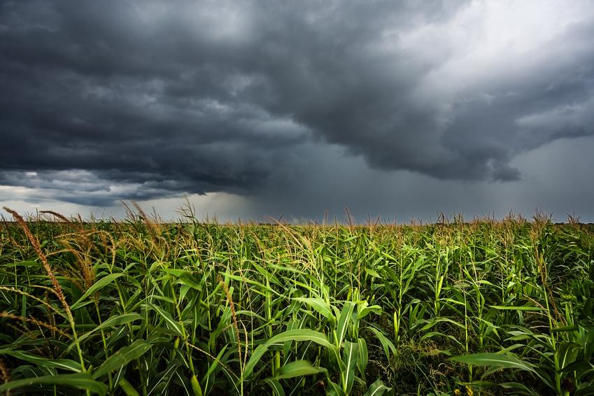 Mais in Zeiten des Klimawandels: Können hochertragreiche Sorten sich an schnell ändernde Klimabedingungen anpassen? (Bildquelle: © phant / Fotolia.com)