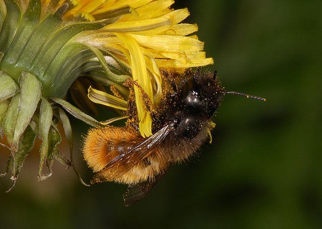 Wildbienen haben ein anderes Sammelverhalten als Honigbienen. Hier die Mauerbiene Osmia cornuta beim Pollen sammeln.