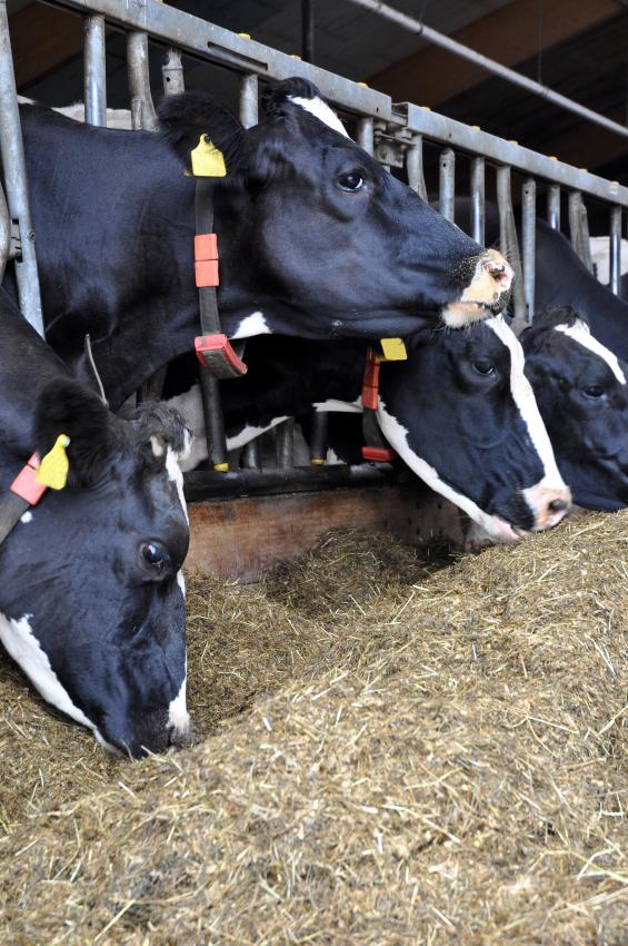 In der Tierproduktion fallen weltweit die meisten Treibhausgase an.