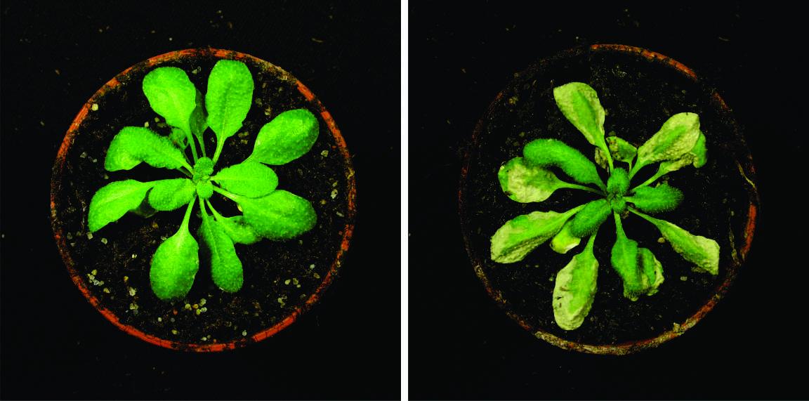 Circadianer Stress: Ein Defekt der inneren Uhr oder zu wenig vom Hormon Cytokinin führt bei verändertem Lichtrhythmus in der Modellpflanze Arabidopsis (Ackerschmalwand) zum Zelltod. Links eine nicht gestresste Pflanze, rechts eine Pflanze nach Stress.