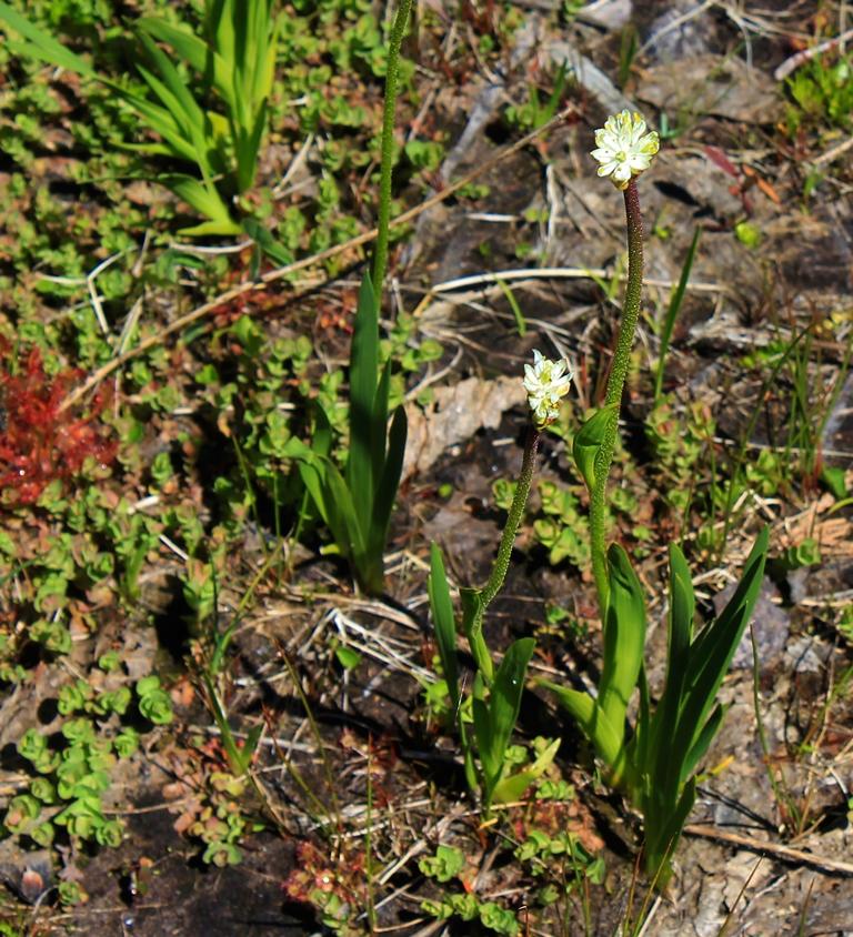 Triantha occidentalis ist die erste neue fleischfressende Pflanze, die von Botanikern seit 20 Jahren identifiziert wurde.