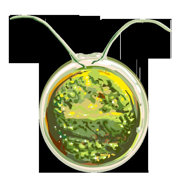 Pflanze: Chlamydomonas