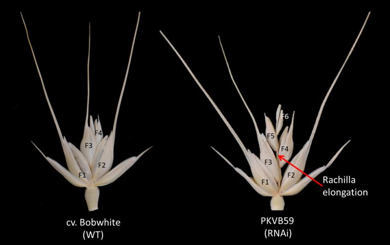 Ährchenmorphologie von Brotweizen der Sorte Bobwhite (links) und ein transgenes Derivat (rechts), das ein GNI1-RNAi-Kontrukt enthält. Eine verminderte GNI1-Expression führt zu einer höheren Anzahl an fruchtbaren Blüten (F1-F6) und einer höheren Kornzahl pro Ährchen.