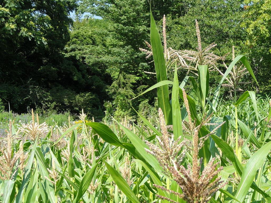 Sorghumhirse (Sorghum bicolor) oder auch Mohrenhirse genannt, ist in warmen und trockenen Gebieten verbreitet.