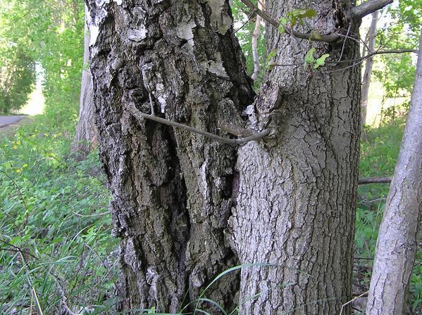 Gezeigt ist eine natürliche Pfropfung zwischen einer Birke (links) und einer Eiche (rechts). Sexuell inkompatible Spezies können an solchen Stellen Chloroplastengenome austauschen (Quelle: © Prof. Ralph Bock).