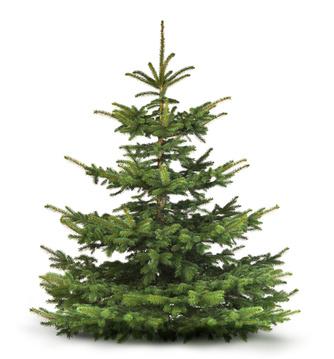 Tannen, aber auch Fichten werden von uns als Weihnachtsbäume verwendet.