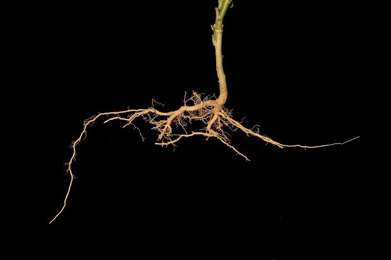 Wenn Wurzeln bei Phosphatmangel auf Eisen treffen, stellen sie ihr Tiefenwachstum ein und wachsen stattdessen in die Breite. (Bildquelle: © iStock.com/ Lafotoguy)