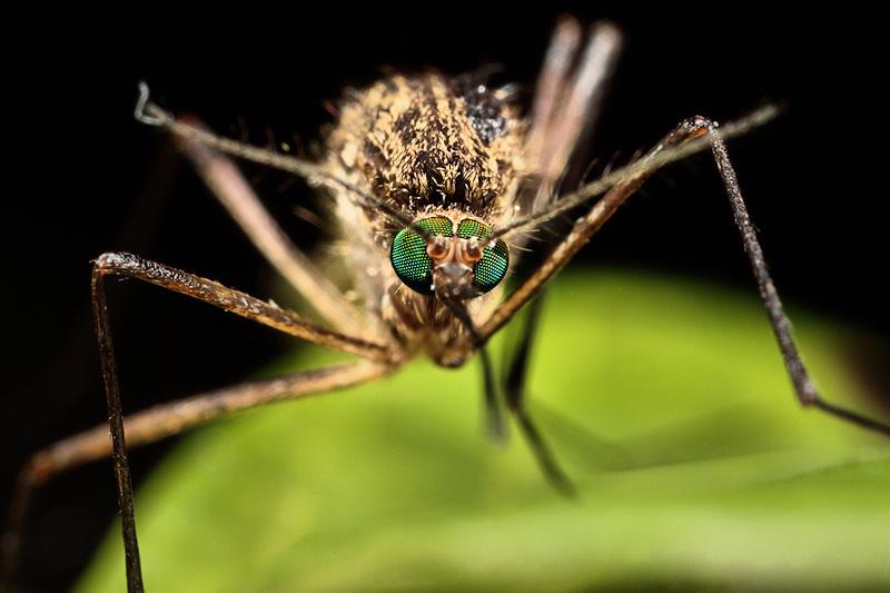 Derzeit wird versucht, die Übertragung von Malaria, Dengue- oder Zikafieber per Gene Drive zu bremsen.