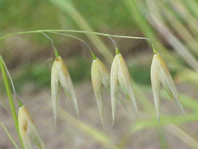 Flug-Hafer (Avena fatua), diente den Forschern in ihren Gewächshausexperimenten als Modellpflanze. Die AMF lassen sich im Wurzelgeflecht unterhalb der Erde finden.