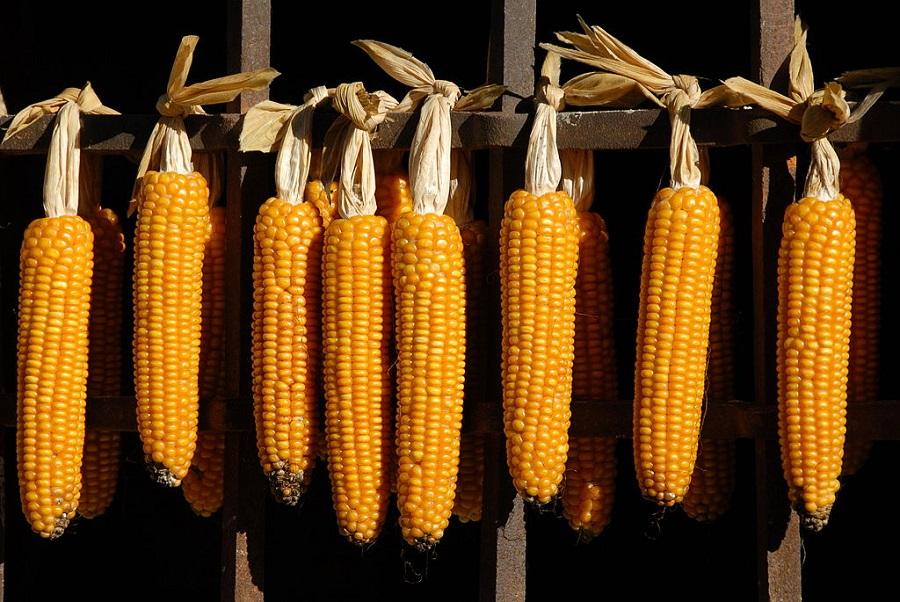 Der Heterosis-Effekt führt dazu, dass Hybridmais ertragreicher ist als reinerbige Maissorten. Dies zeigt sich unter anderem an den größeren Maiskolben. (Bildquelle: © Johann Jaritz/ wikimedia.org/ CC BY-SA 3.0)