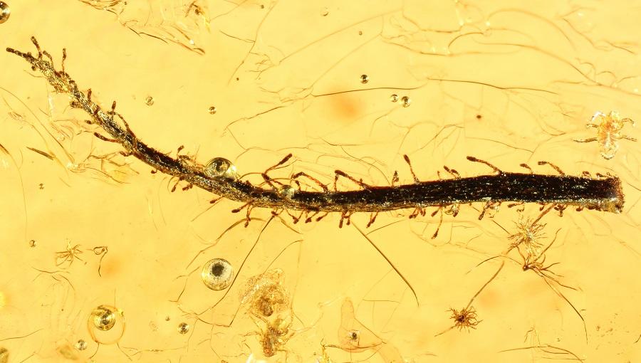 Das im Bernstein konservierte Blatt ist über 35 Millionen Jahre alt und wurde in der Bernsteinmine von Yantarny gefunden. (Bildquelle:© PNAS und Universität Göttingen/ Alexander Schmidt)