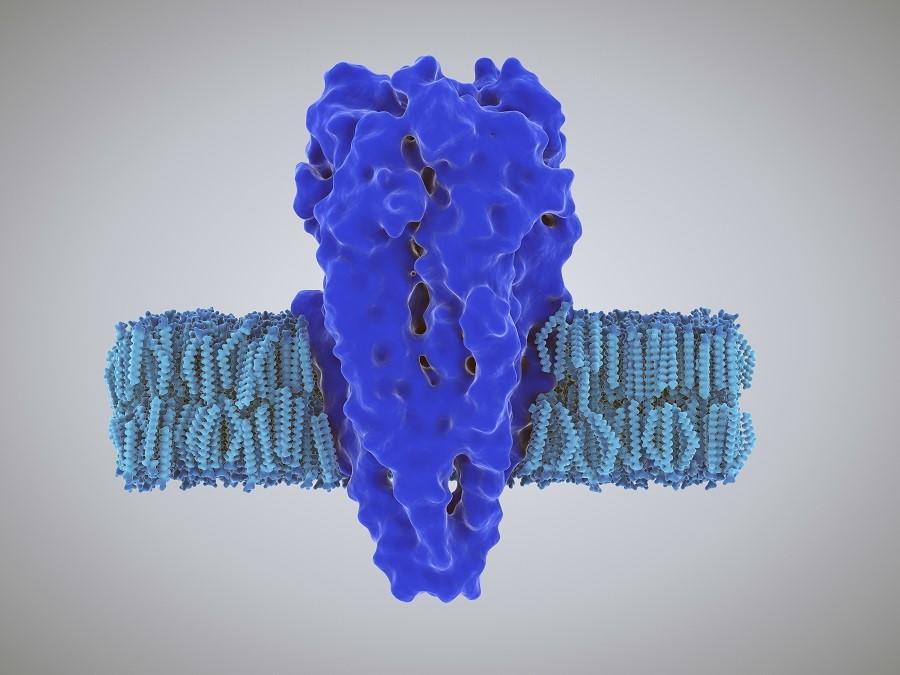 Ein Rezeptor ist meist ein Proteinkomplex, der sich von der Außenseite der Zelle durch die Zellmembran hindurch bis ins Innere der Zelle erstreckt. Auch der neu entdeckte Rezeptor LORE leitet Informationen vom Zell-Äußeren nach innen.