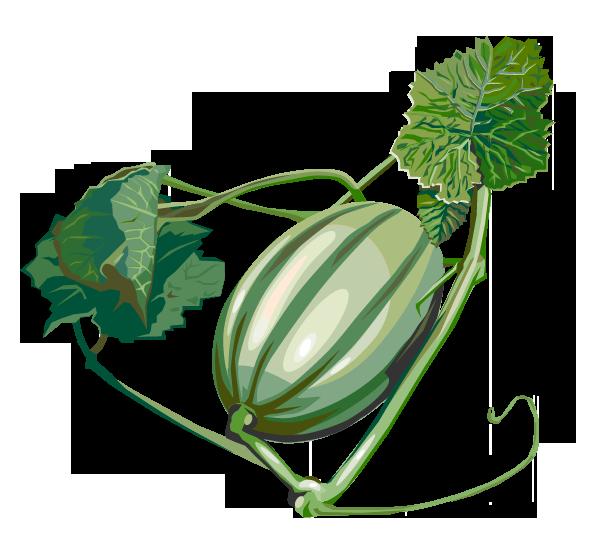 Zuckermelone – Cucumis melo