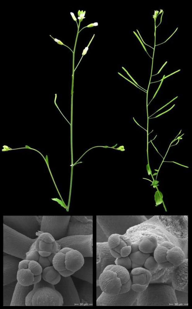 Wachstumsdefekte nach Inaktivierung der Gene ARR7 und ARR15. Links: Kontrollpflanze, rechts: Pflanze nach der Inaktivierung beider Gene. Unterer Bildrand: Wachstumszonen der entsprechenden Pflanzen, die mit einem Rasterelektronenmikroskop untersucht wurden. Im Zentrum ist die Stammzellzone zu erkennen, an deren Peripherie sich neue Blüten bilden.
