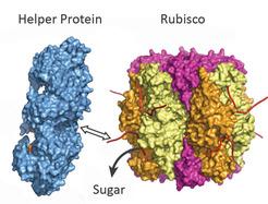 Das Helferprotein (blau) zieht an einem Ende von Rubisco (bunt) und setzt so den Zucker frei. Die Blockade ist aufgehoben. (Quelle: © Manajit Hayer-Hartl / Max-Planck-Institut für Biochemie)