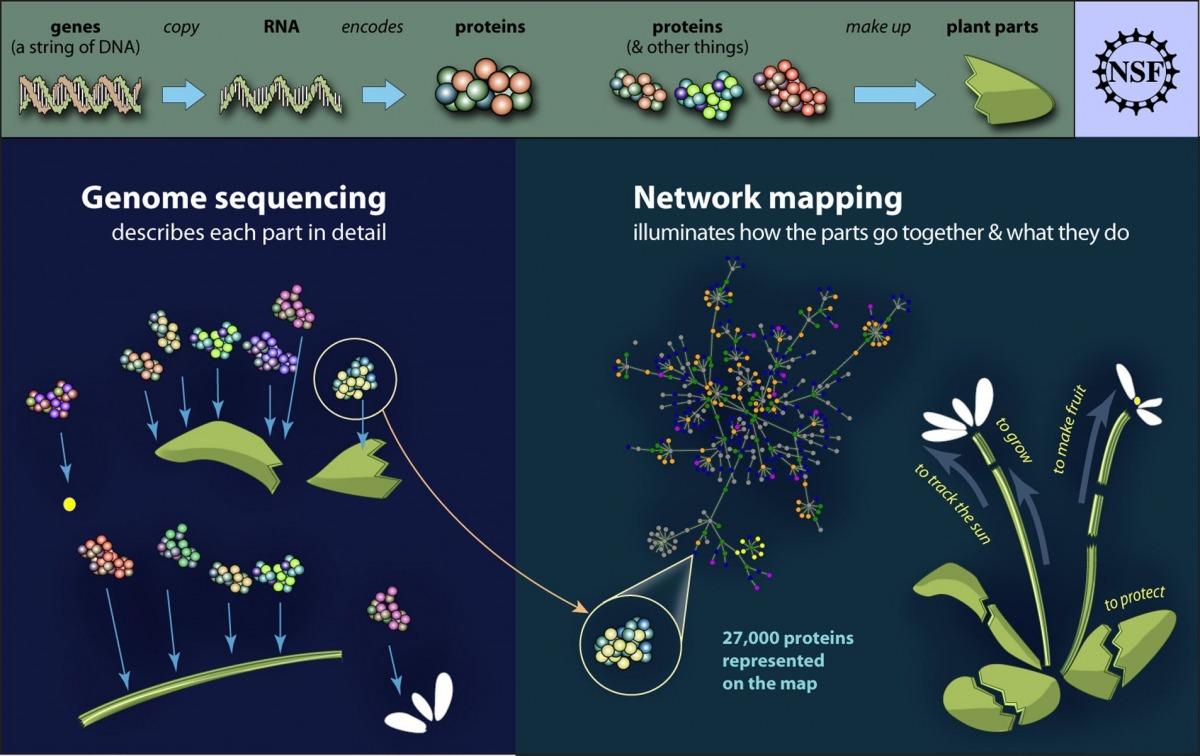 Proteine sind die Bausteine des Lebens. Die Interaktionsmuster der Proteine untereinander ermöglichen die Vielfalt in der Natur. Hochpräzise steuern sie sämtliche Lebensprozesse der Organismen. Die Grundlage für die vollständige Erfassung des Interaktoms ist die genetische Information. Das Interaktom ist eine Voraussetzung für die umfassende Aufklärung der Gen- bzw. Proteinfunktionen. Damit legte die Modelpflanze Arabisopsis thaliana erneut einen wichtigen Grundstein für zukünftige Forschungs- und Entwicklungsarbeiten an Kulturpflanzen.