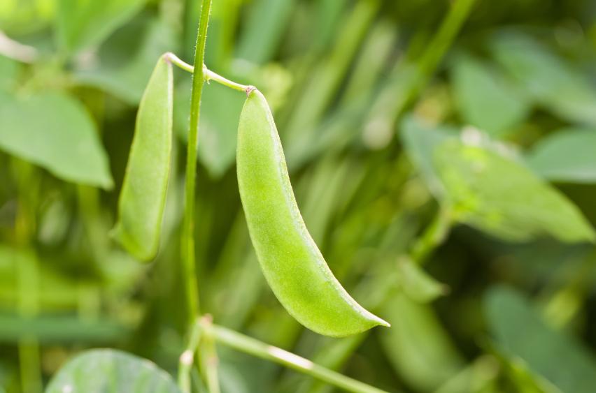 Auch Pflanzen nehmen Duftstoffe war. Hier: Limabohnen. (Quelle: © iStockphoto.com/ Henry J Jacobs)
