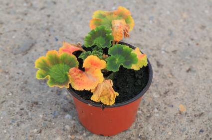 In Nutz- und Zierpflanzen ein Problem: Xanthomonas. (Quelle: © iStockphoto.com/alohaspirit)