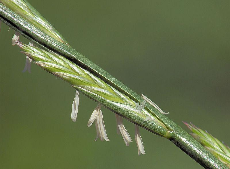 Weidelgras ist ein relativ unempfindliches Gras und eine häufig eingesetzte Winterzwischenfrucht. Es kann unterpflügt werden oder auch als Futtermittel für Tiere genutzt werden. (Bildquelle: © Rasback/ wikimedia.org/ CC BY-SA 3.0)