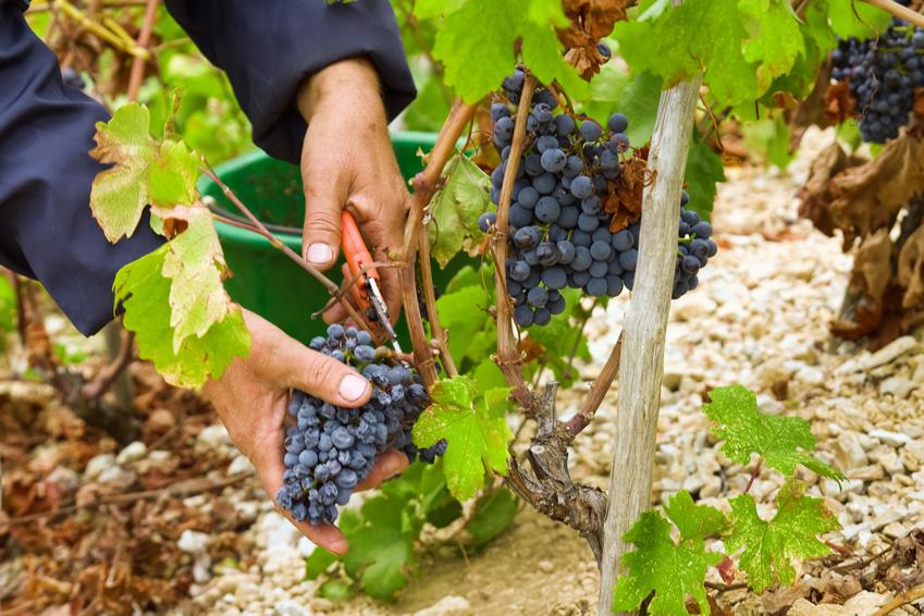 Die Weinlese von Hand gilt allgemein als Qualitätsmerkmal. (Bildquelle: © mariocigic - Fotolia.com)